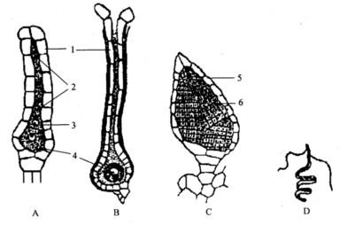 颈卵器及精子器的形态结构图