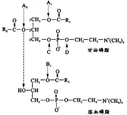 磷脂酶c催化卵磷脂水解后生成c.磷脂酶d催化卵磷