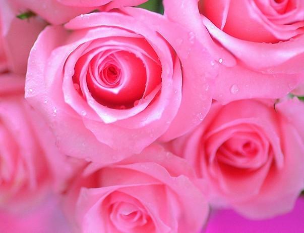 各种玫瑰花的含义